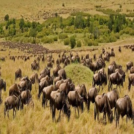 Serengeti Wildbeest Migration