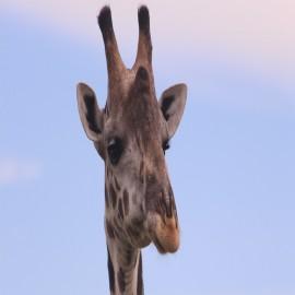 tanzania safaris girrafe