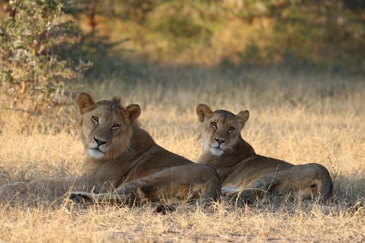 lion selous tanzania