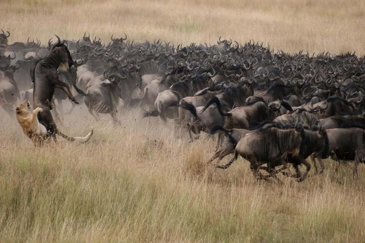 serengeti migration mara crossing