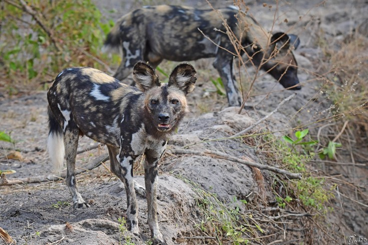 Hunting dogs in selous