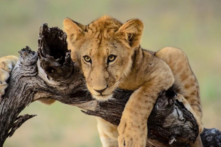 cub lion in Selous National Park